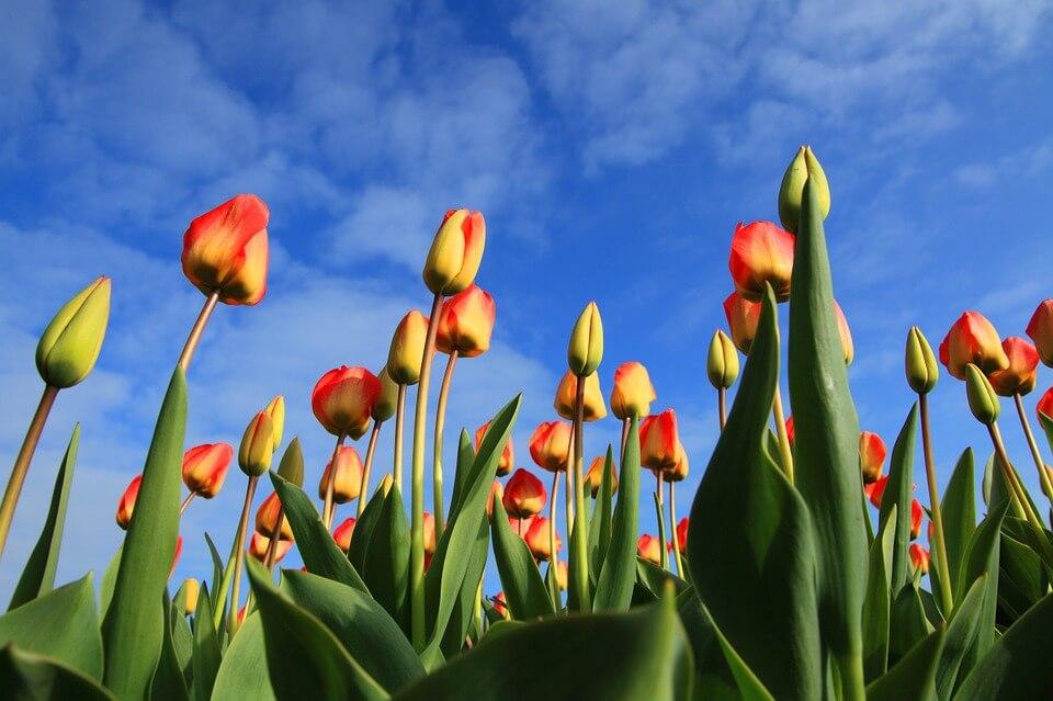 tulips-21598_960_720